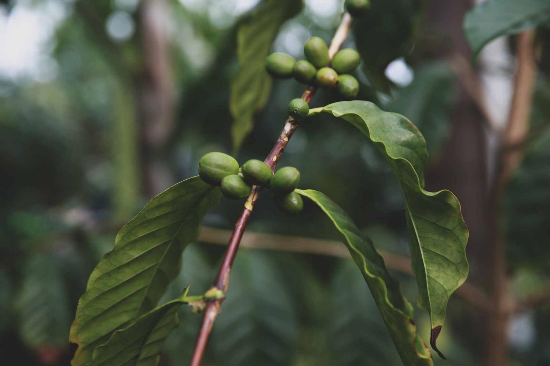 Lao coffee tree at Bolaven Plateau