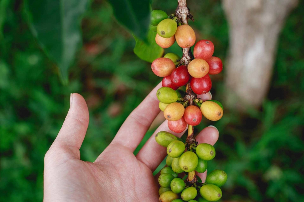 Coffee beans at Bolaven Plateu coffee plantation