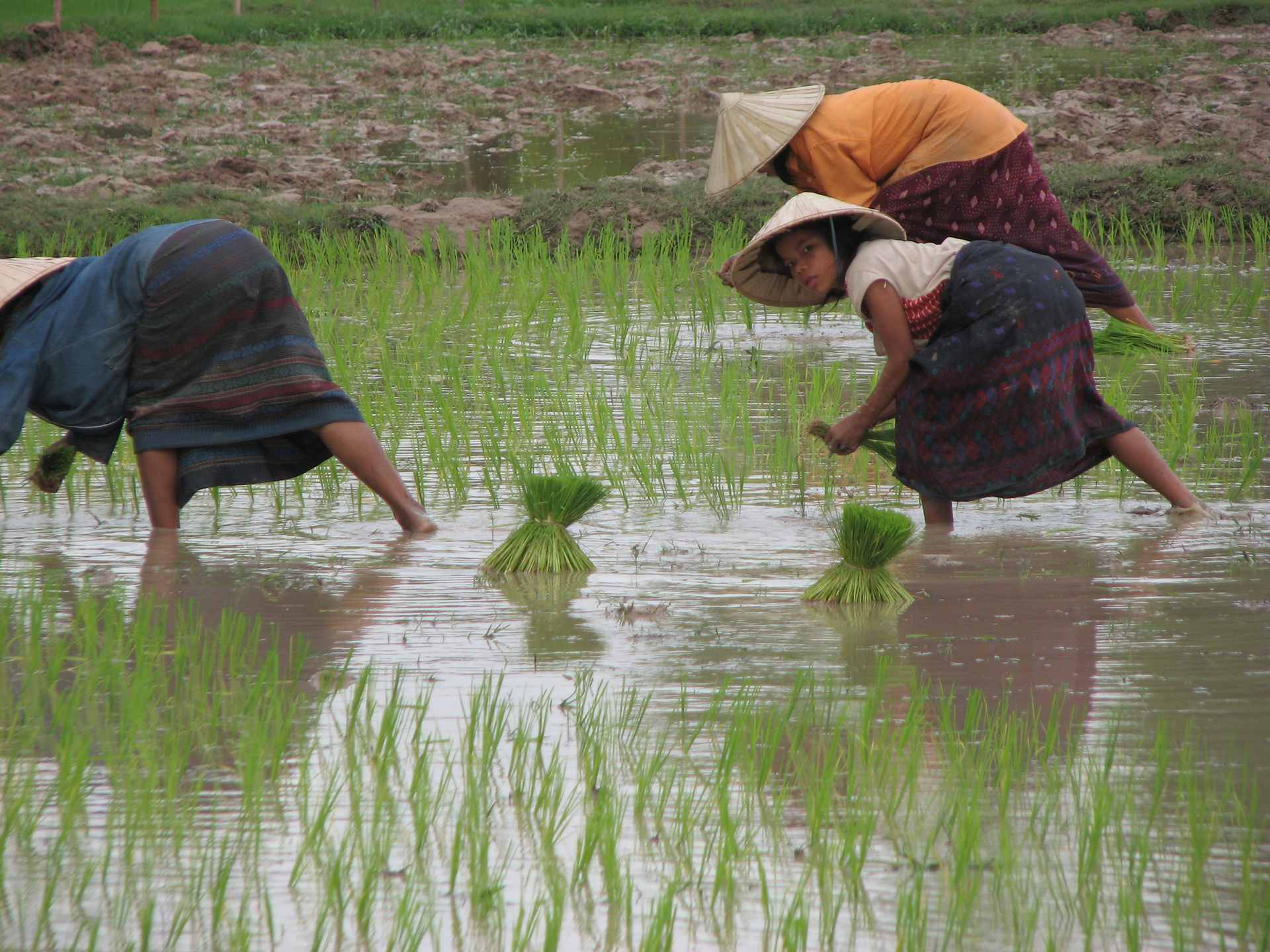Rice farming by local people of Laos
